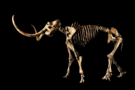 Sotheby's to sell Paleolithic woolly mammoth skeleton